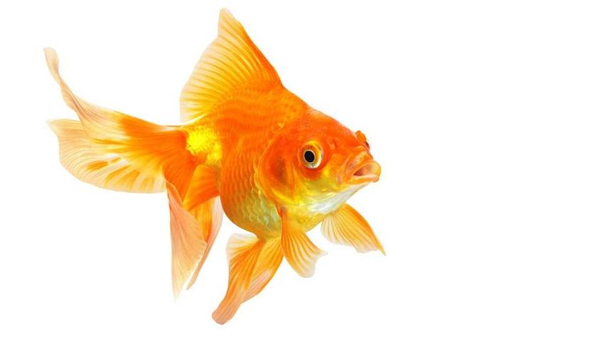 goldfishmain3